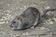 Common brown rat. Brown rat, also referred to as common rat, street rat, sewer rat, Hanover rat, Norway rat, Norwegian rat, or wharf rat,Rattus norvegicus Stock Image