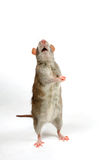 Brown rat is begging in front of white. Brown rat is begging in front of a white background stock photos