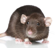 Brown Rat. Close-up portrait Stock Photography