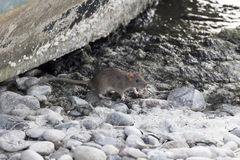 The brown rat Royalty Free Stock Images