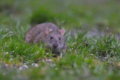 Brown rat, common rat, street rat (Rattus norvegicus). Front view of a brown rat, common rat, street rat (Rattus norvegicus Royalty Free Stock Photography