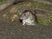 Brown Rat. Crawling Across  the Ground Royalty Free Stock Photography