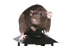 Brown Rat on a decorative lamp Stock Photos
