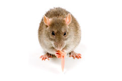 Brown Rat eating meat. In front of a white background royalty free stock photo