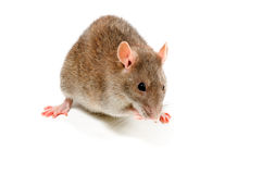 Brown Rat in front of white Royalty Free Stock Photography