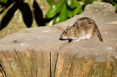 Brown rat on log Stock Photography