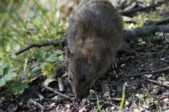 Brown Rat Royalty Free Stock Image
