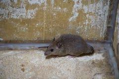 Brown rat in mortar Tubs Stock Photo