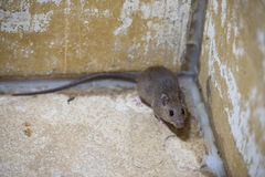 Brown rat in mortar Tubs Stock Photography