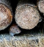 Brown rat mother running in the wood stack with its baby rat mouse stock photos
