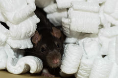Brown rat in packing peanuts. Curious brown rat buried in white packing styrofoam peanuts Stock Image