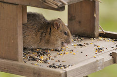 Brown Rat - Rattus norvegicus Stock Photography