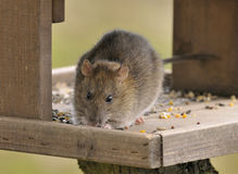 Brown Rat - Rattus norvegicus Stock Photo