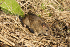 Brown Rat (Rattus norvegicus). A Brown Rat close-up in dried grass Royalty Free Stock Image