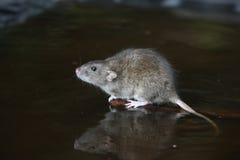 Brown rat, Rattus norvegicus.  Stock Photos