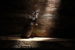 Brown rat, Rattus norvegicus Stock Photos
