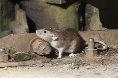 Brown rat, Rattus norvegicus. In barn Royalty Free Stock Photos
