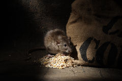 Brown rat, Rattus norvegicus. In barn Royalty Free Stock Image