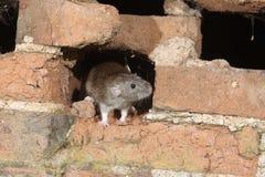 Brown rat, Rattus norvegicus. Captive Stock Images