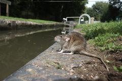 Brown rat, Rattus norvegicus Stock Images
