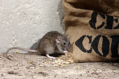 Brown rat, Rattus norvegicus Royalty Free Stock Images