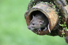 Brown rat, Rattus norvegicus Stock Images