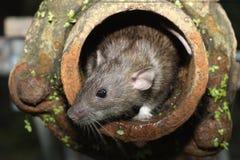 Brown rat, Rattus norvegicus. Captive, in drain pipe Royalty Free Stock Photos