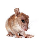 Brown rat. Rattus norvegicus, captive,pathogen carrier, on white background Stock Image