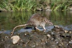 Brown rat, Rattus norvegicus Royalty Free Stock Image