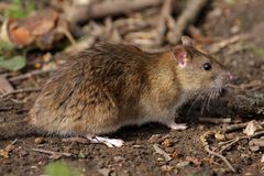 Brown Rat - Rattus norvegicus Royalty Free Stock Photo