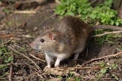 Brown Rat - Rattus norvegicus Stock Image
