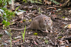 Brown rat Rattus norvegicus looking at camera Royalty Free Stock Image