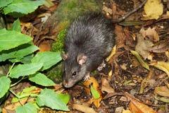 Brown rat- Rattus norvegicus. The most abundant and widespread of all mammals, the brown rat (Rattus norvegicus Royalty Free Stock Photos