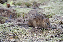 Brown rat, Rattus norvegicus Royalty Free Stock Photo