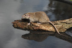 Brown rat, Rattus norvegicus Stock Photos
