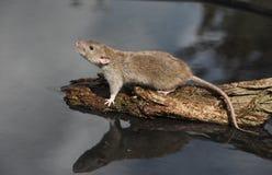 Brown rat, Rattus norvegicus. By water Royalty Free Stock Photos