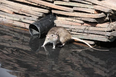 Brown rat, Rattus norvegicus Stock Photo