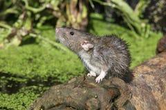 Brown rat, Rattus norvegicus Royalty Free Stock Photos