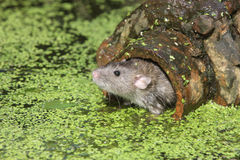 Brown rat, Rattus norvegicus. By water Royalty Free Stock Image
