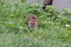 A brown rat on the river bank. A brown rat Rattus norvegicus nibbling something on the bank of the River Avon with grass and nettles in Chippenham Wiltshire UK royalty free stock photo