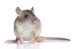 Rat on a white background Stock Image