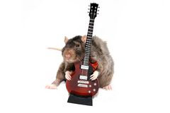 Brown rat with small red guitar. This is big smell brown rat with small red guitar on white background. Male Royalty Free Stock Photos