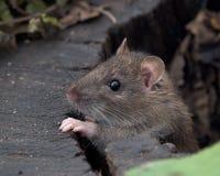 Brown Rat Stock Image