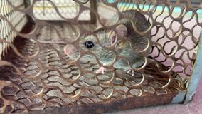 Brown rat was catch in the metal cage