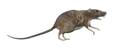 Brown Rat on White. 3D digital render of a brown rat isolated on white background Stock Photo