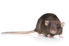 Brown-Ratte Stockfotografie