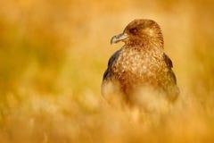 Brown-Raubmöwe, Catharacta die Antarktis, Wasservogel, der im Herbstgras, Licht glättend, Argentinien sitzt lizenzfreie stockbilder