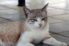 Brown rayó con el gato blanco del color que colocaba en el piso un pequeño mamífero carnívoro domesticado con la piel suave imágenes de archivo libres de regalías