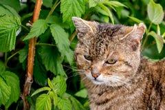 Brown rayó el gato en jardín entre bushes_ de la frambuesa imagenes de archivo
