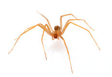 Brown recluse spider. In front of white background royalty free stock photo